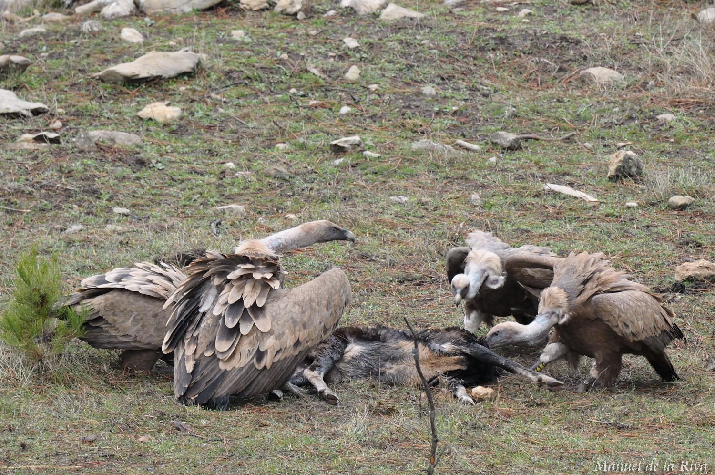 Varios buitres leonados se alimentan de carroña en la Sierra de Cazorla (Jaén). Imagen: Manuel de la Riva / CSIC