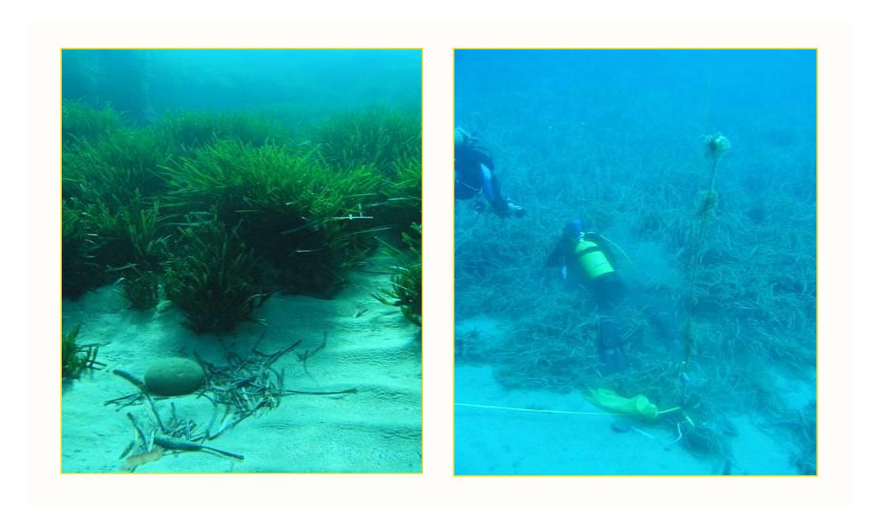 Paisaje característico de las praderas de Posidonia oceanica y buzos trabajando. Fotografías: JM Ruiz (documento de 2011)