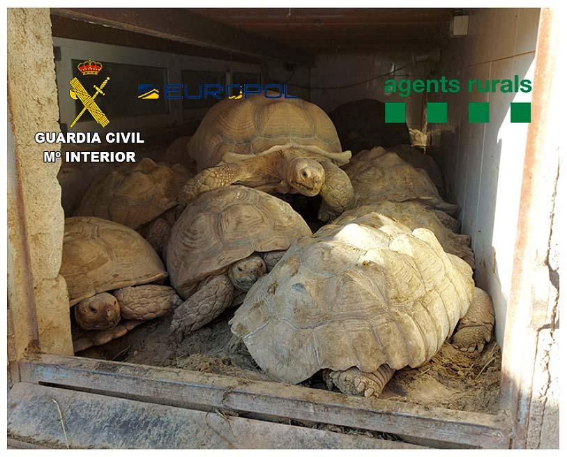 Tortugas hacinadas capturadas ilegalmente. Imagen: GC