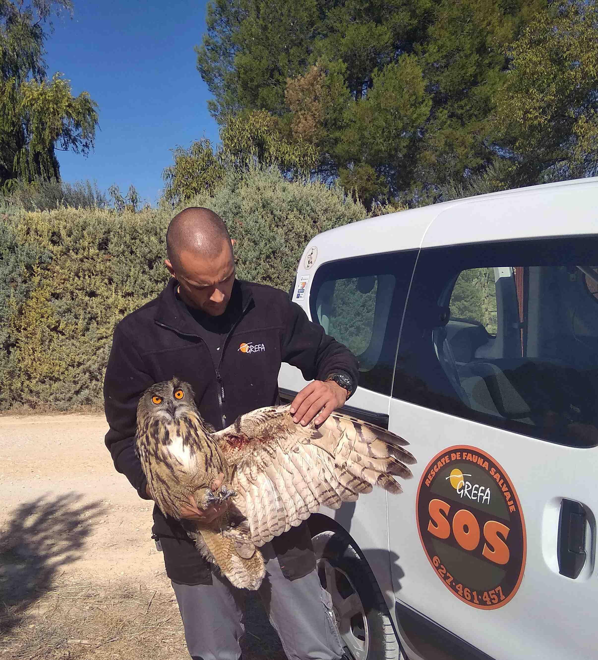 Un rescatador de fauna de GREFA examina el ala herida de un búho real. Imagen: GREFA