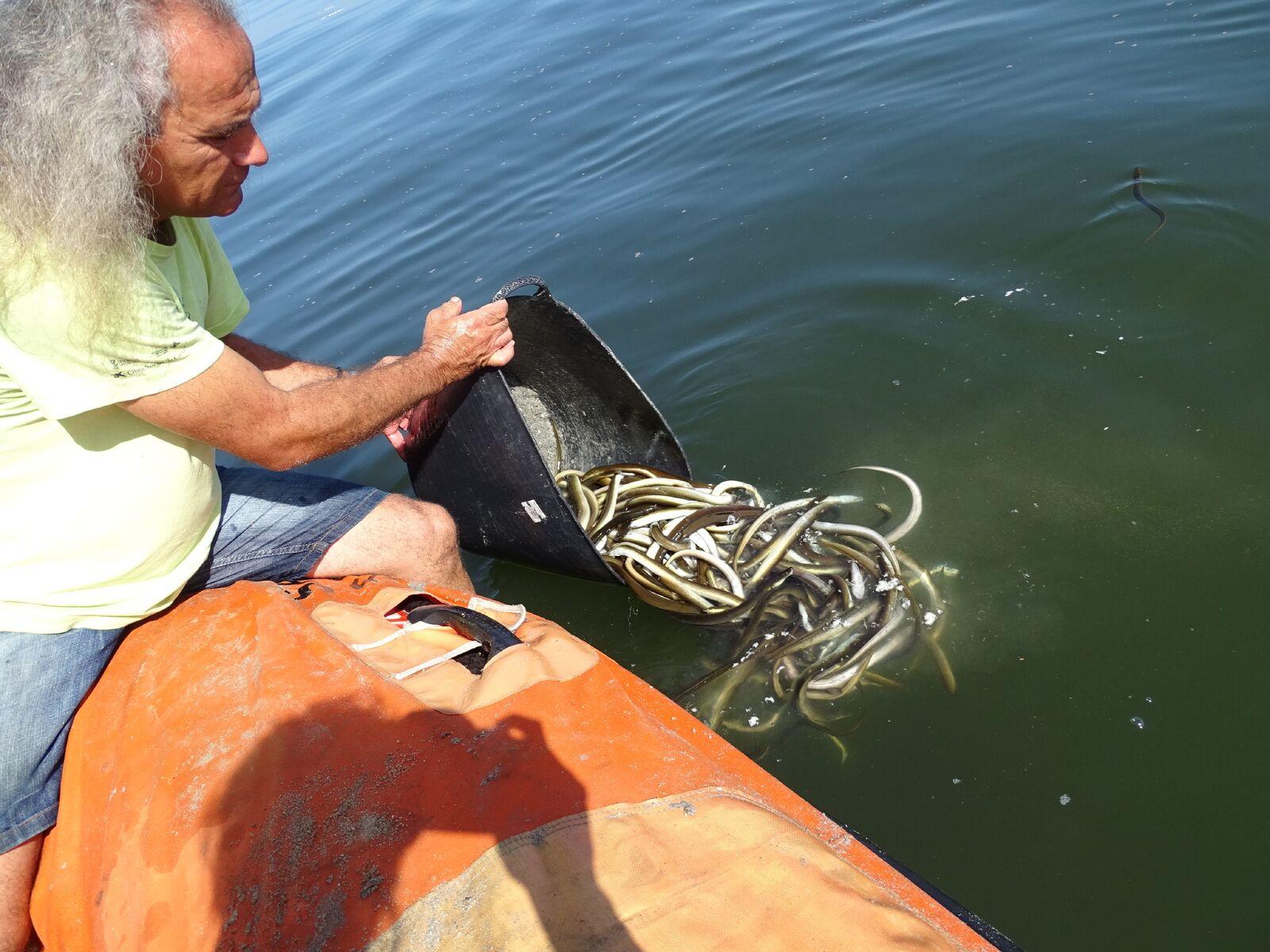 Rescate de anguilas afectadas por la falta de oxígeno del Mar Menor. Imagen: Pedro García / ANSE