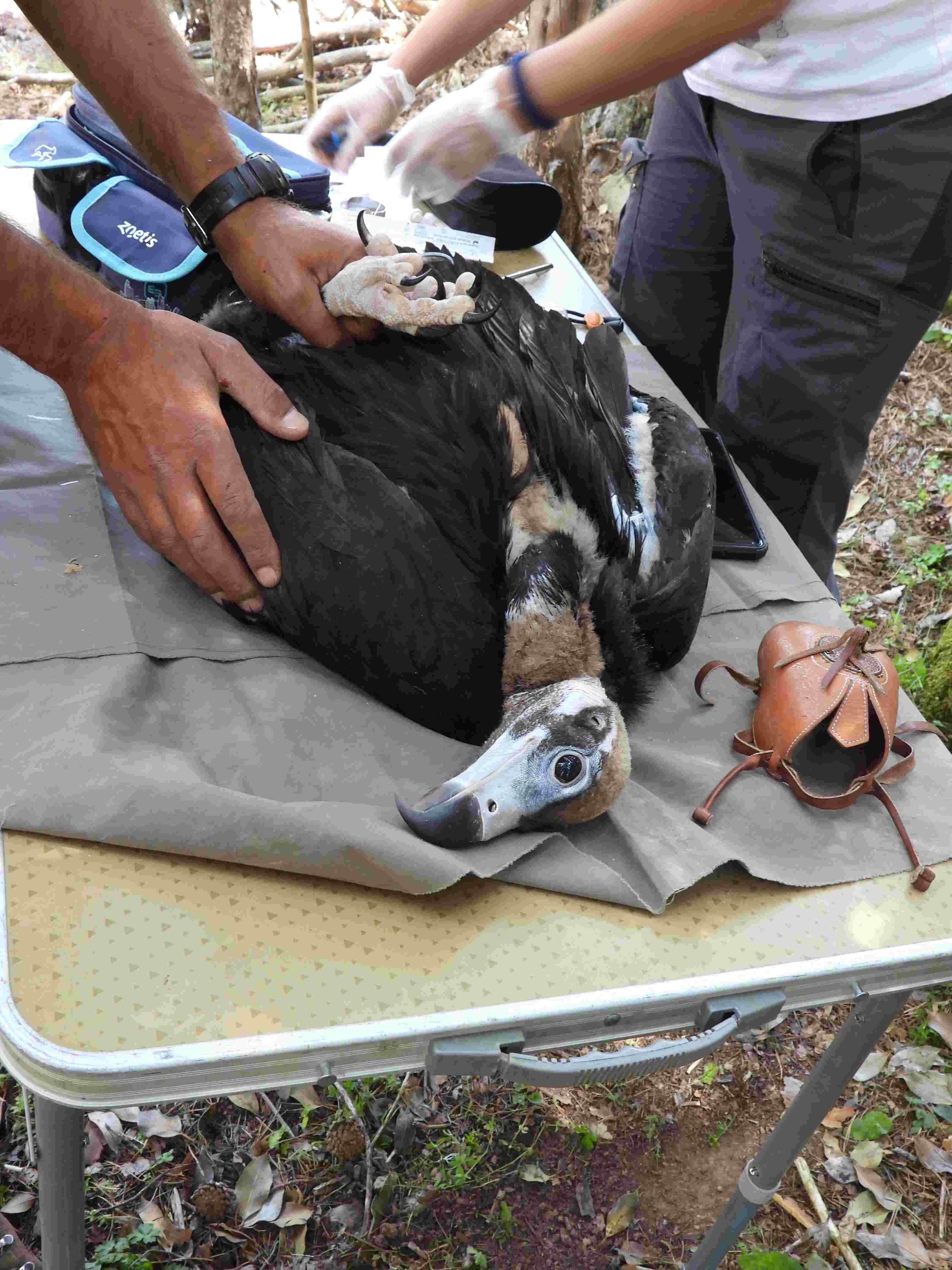 Revisión veterinaria a un buitre negro nacido en 2021 en la Sierra de la Demanda. Imagen: Grefa