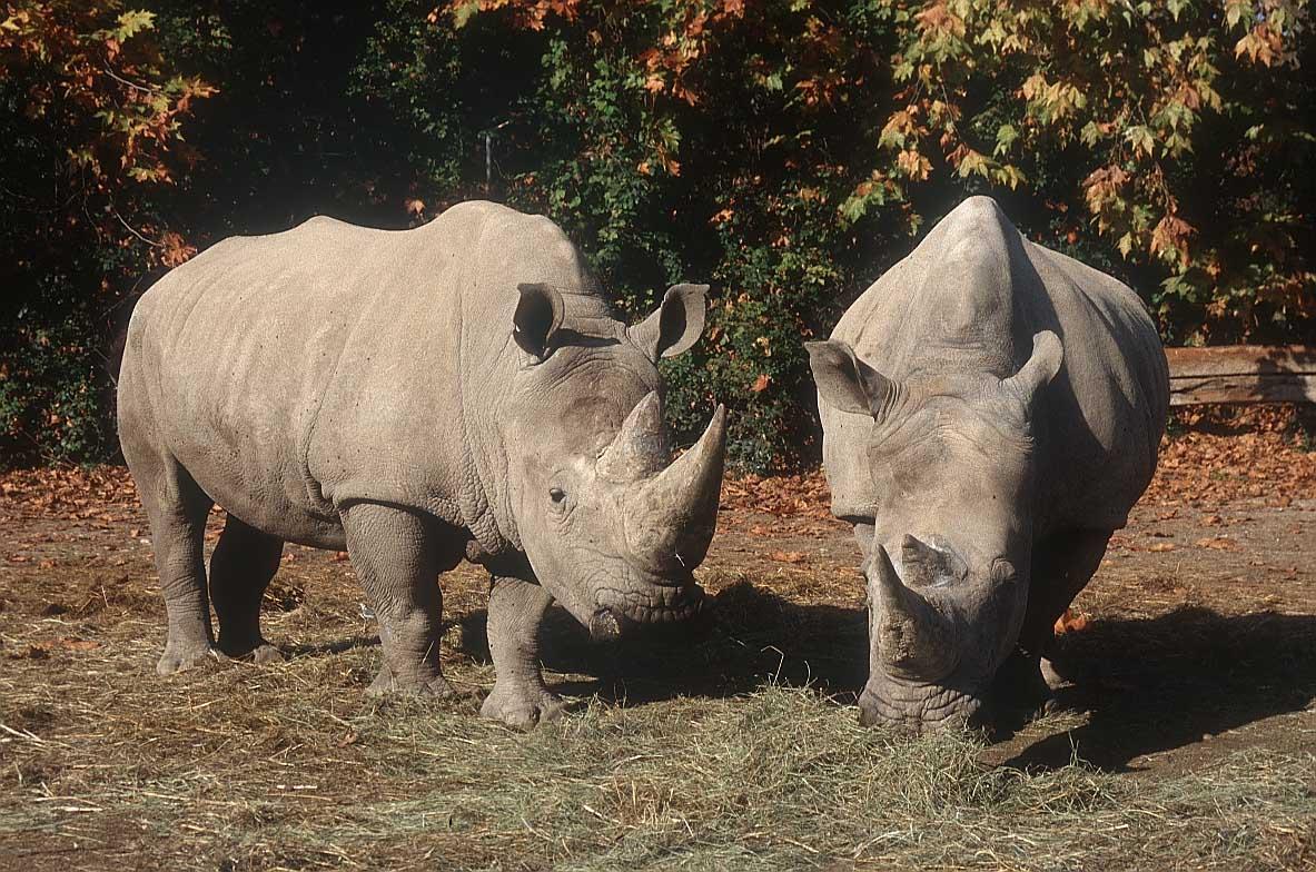 Rinocerontes, a menudo presas del furtivismo. Imagen: Big Foto (http://www.bigfoto.com).