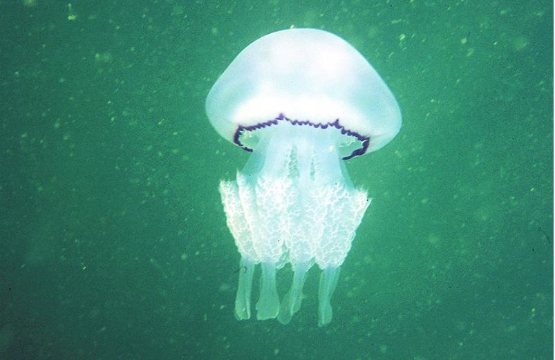 Rhizostoma pulmo. Imagen de Ignacio Franco. Centro Oceanográfico de Murcia.