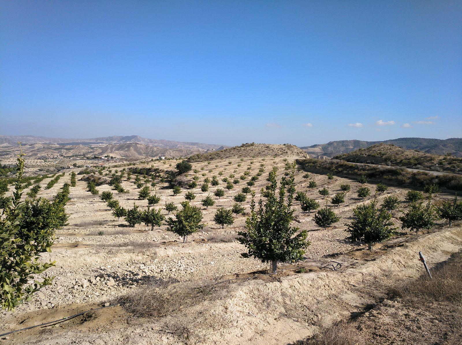 Superficie de nuevos regadíos para cítricos, en el entorno de Cabezo de la Plata (Cañadas de San Pedro, Murcia). Imagen: EEA