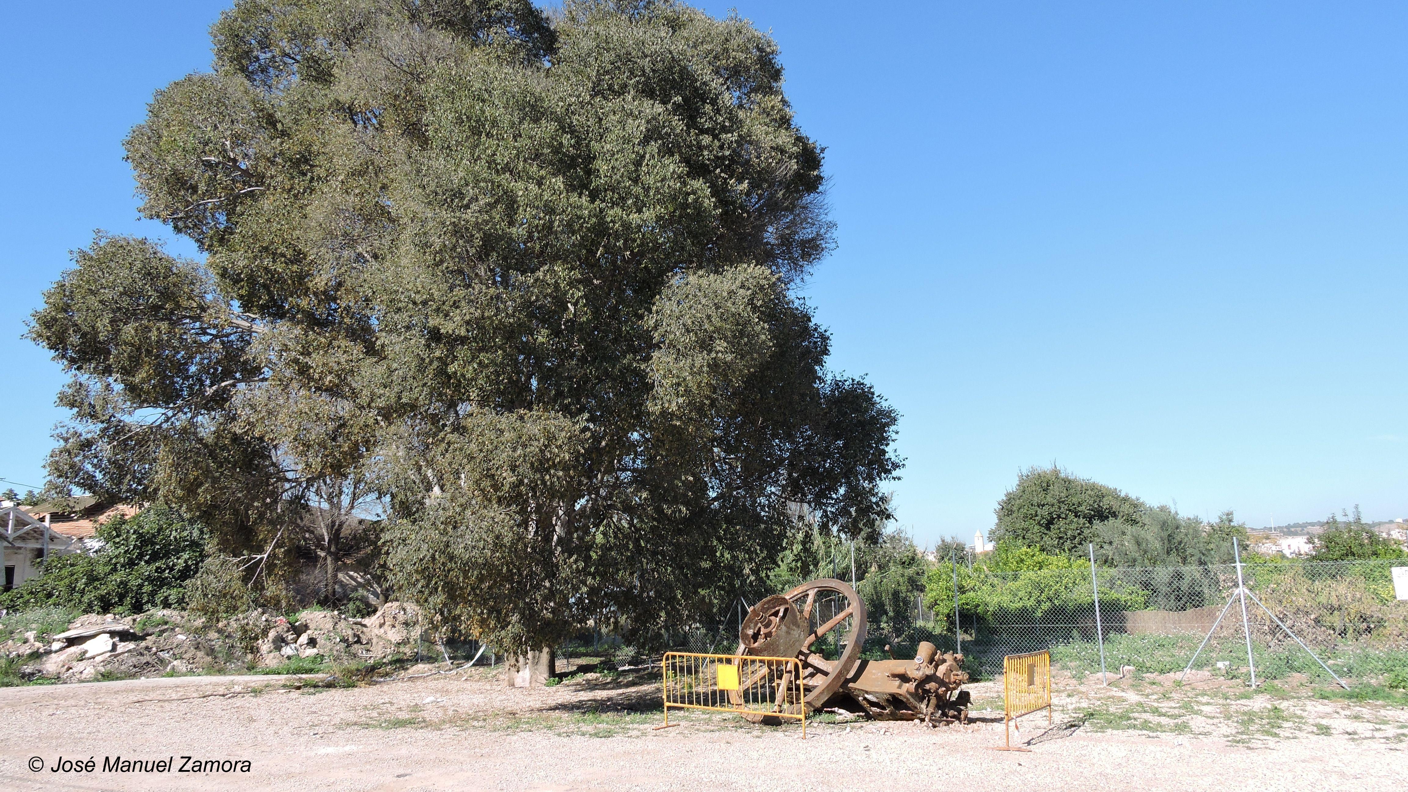 Almez de Puebla de Soto, en 2015. Al lado, una rueda de molina desenterrada bajo el árbol. Imagen: JM Zamora