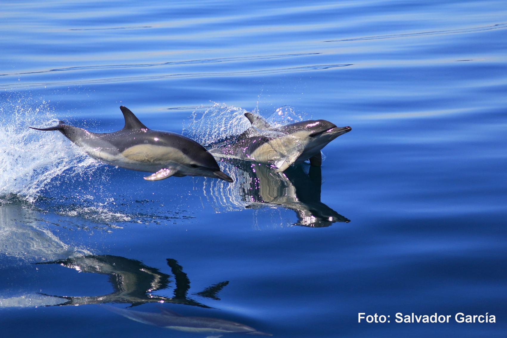Preciosa imagen de unos delfines saltando en el agua. Imagen: IEO