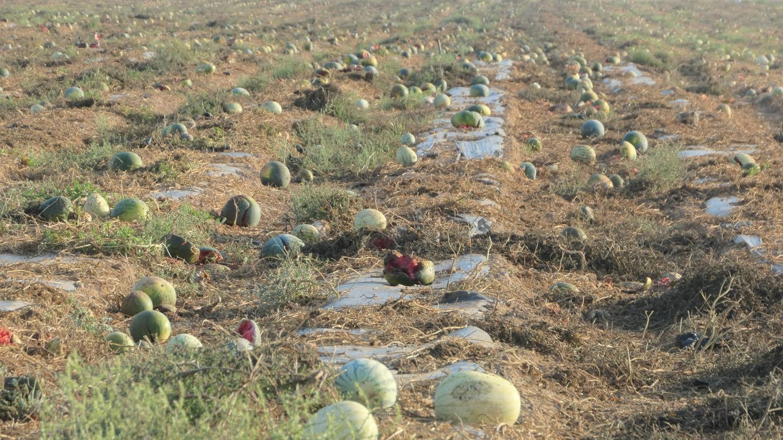 Las hortalizas abandonadas suponen gran parte de la producción de unas 25 hectáreas. Imagen: Plataforma Salvemos el Arabí y Comarca