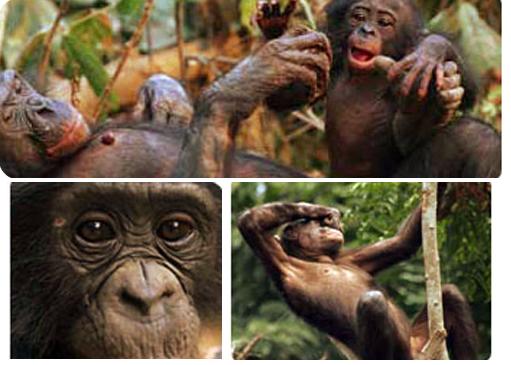 Imágenes de simios -cedida por Logo del Proyecto Gran Simio (GAP/PGS-España)-.