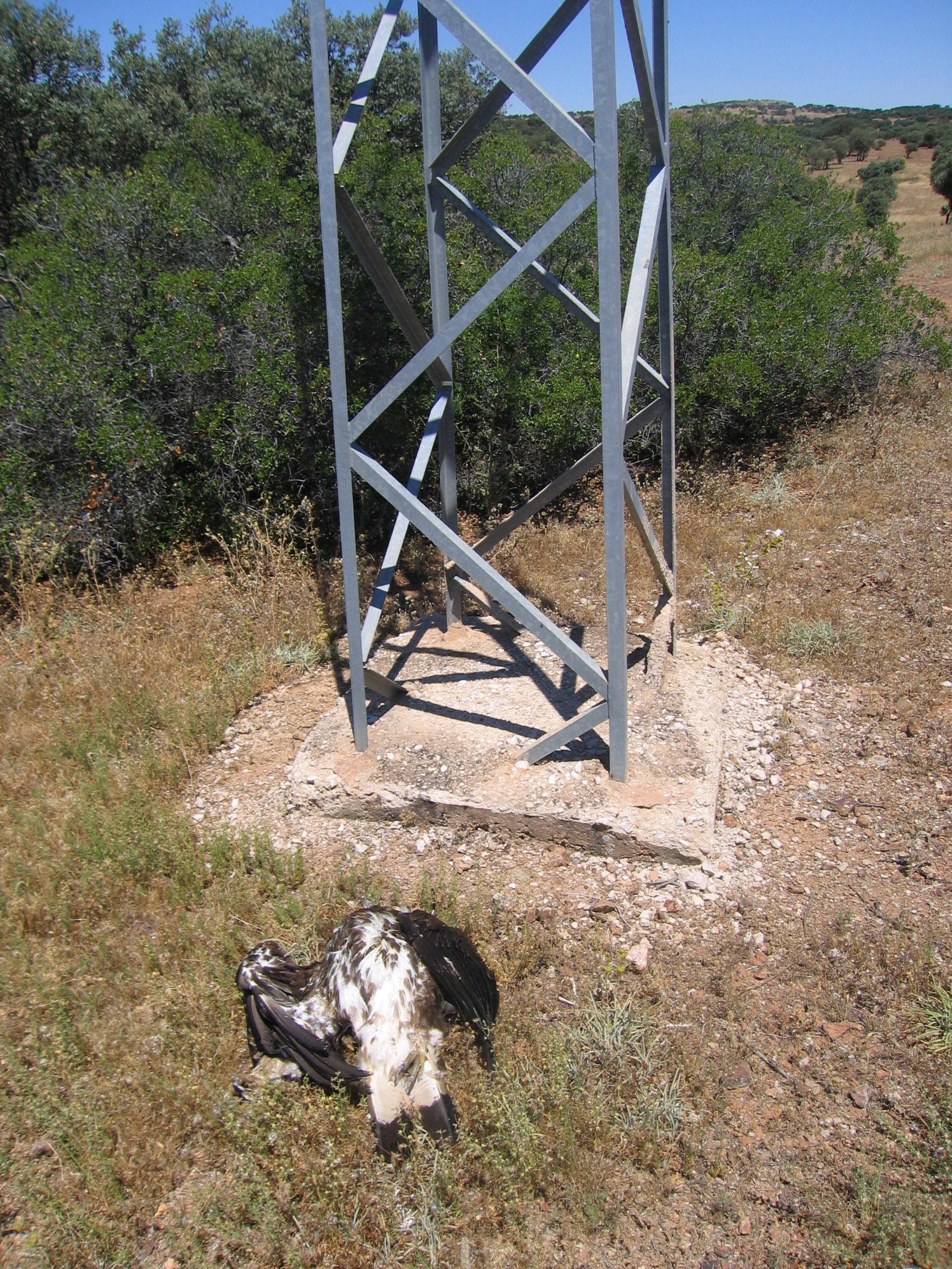 Águila real junto al apoyo del tendido eléctrico en el que murió electrocutada. Foto: Plataforma SOS Tendidos Eléctricos
