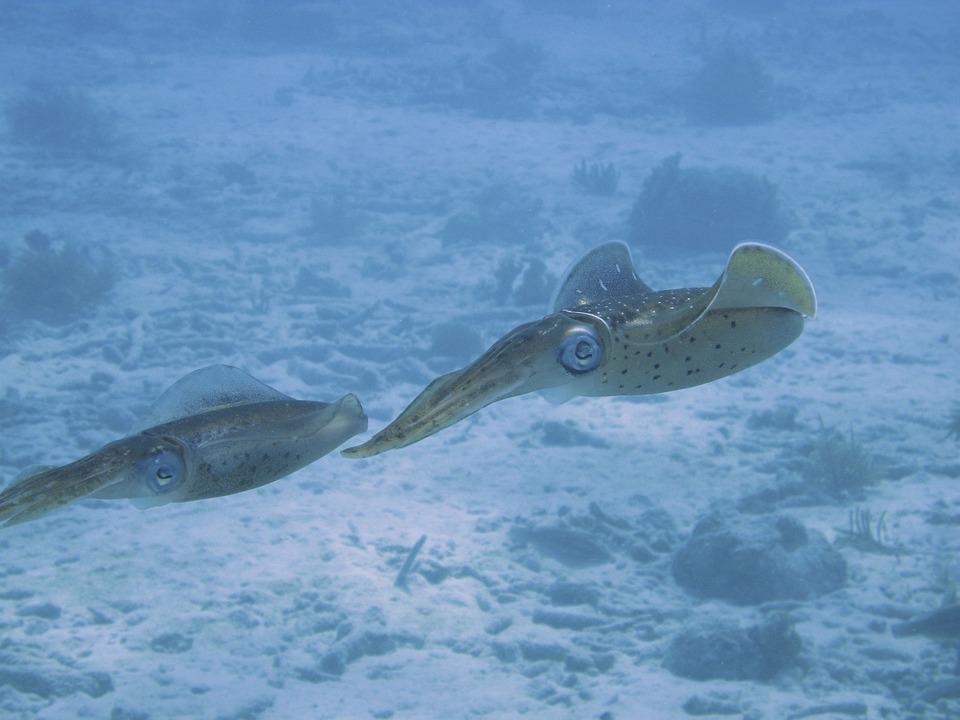 Dos calamares avanzan cerca del fondo. Imagen: Pixabay