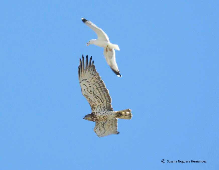 Gaviota patiamarilla acosando a un águila culebrera que acaba de cruzar el Estrecho. Imagen: Susana Noguera
