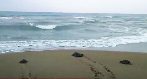 Las tortugas 521, 526 y 527 vuelven al Mediterráneo tras su recuperación. Imagen: Fundación Oceanogràfic