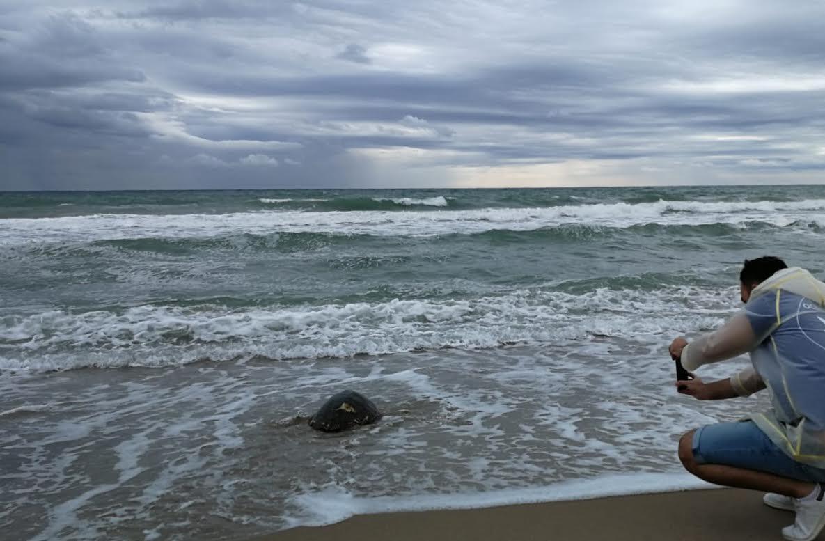 La tortuga Nº 500 entra en el mar. Imagen: Fundación Oceanogràfic