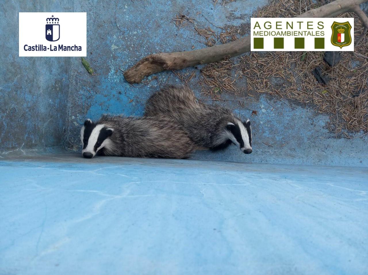 Un par de tejones en una piscina, rescatados por los Agentes Medioambientales de Castilla-La Mancha. Imagen: Agentes Medioambientales CLM
