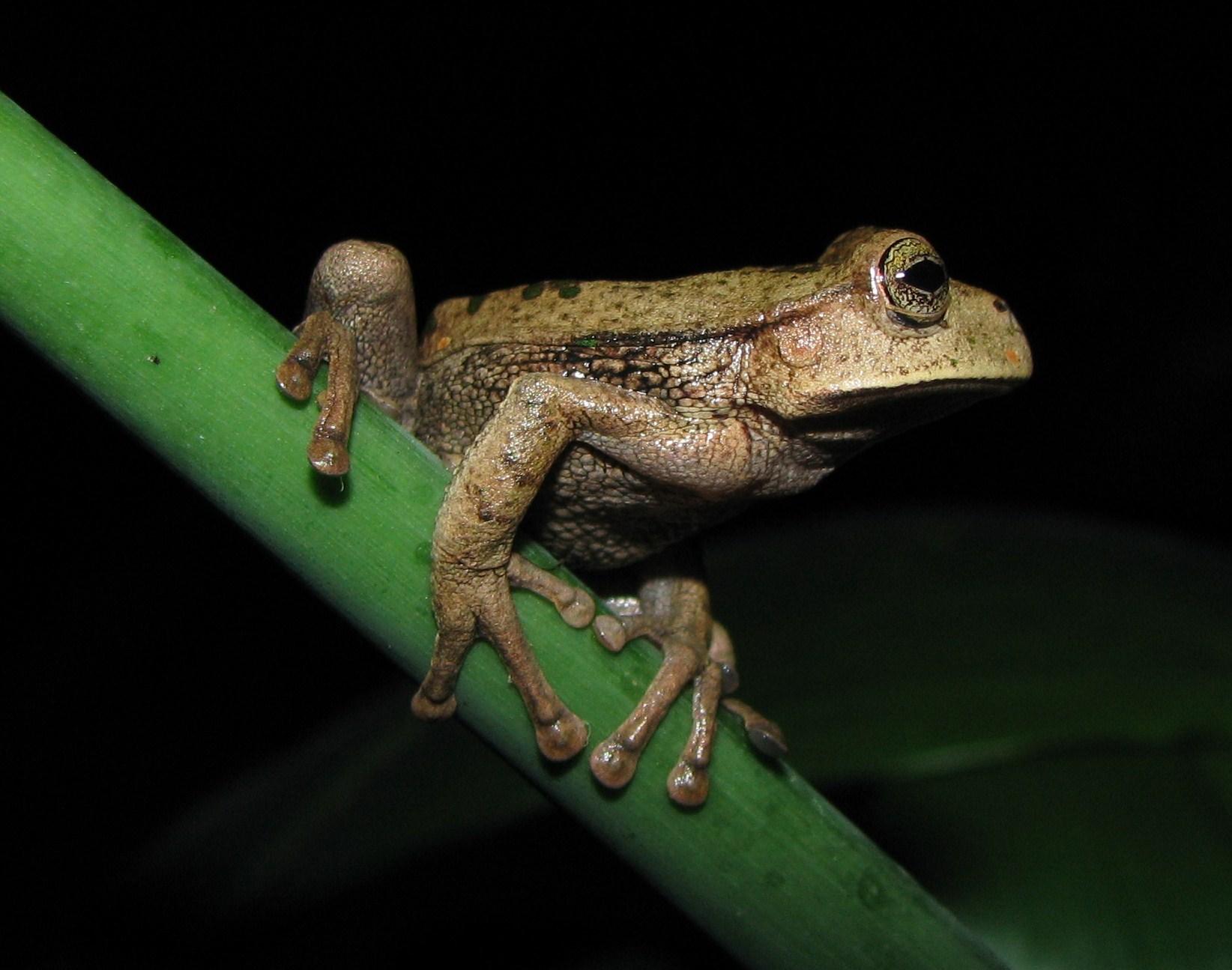 Una rana de la especie 'Gastrotheca testudinea'. Imagen: Tiffany Kosch / CSIC