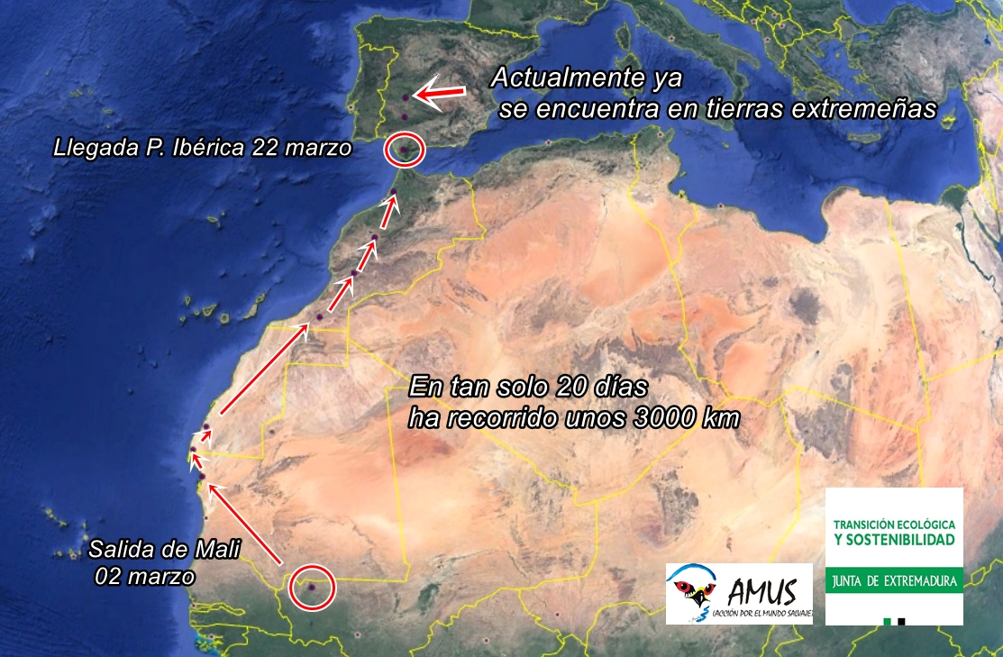 Vuelo de Tizón en menos de un mes, para llegar a Extremadura. Imagen: AMUS