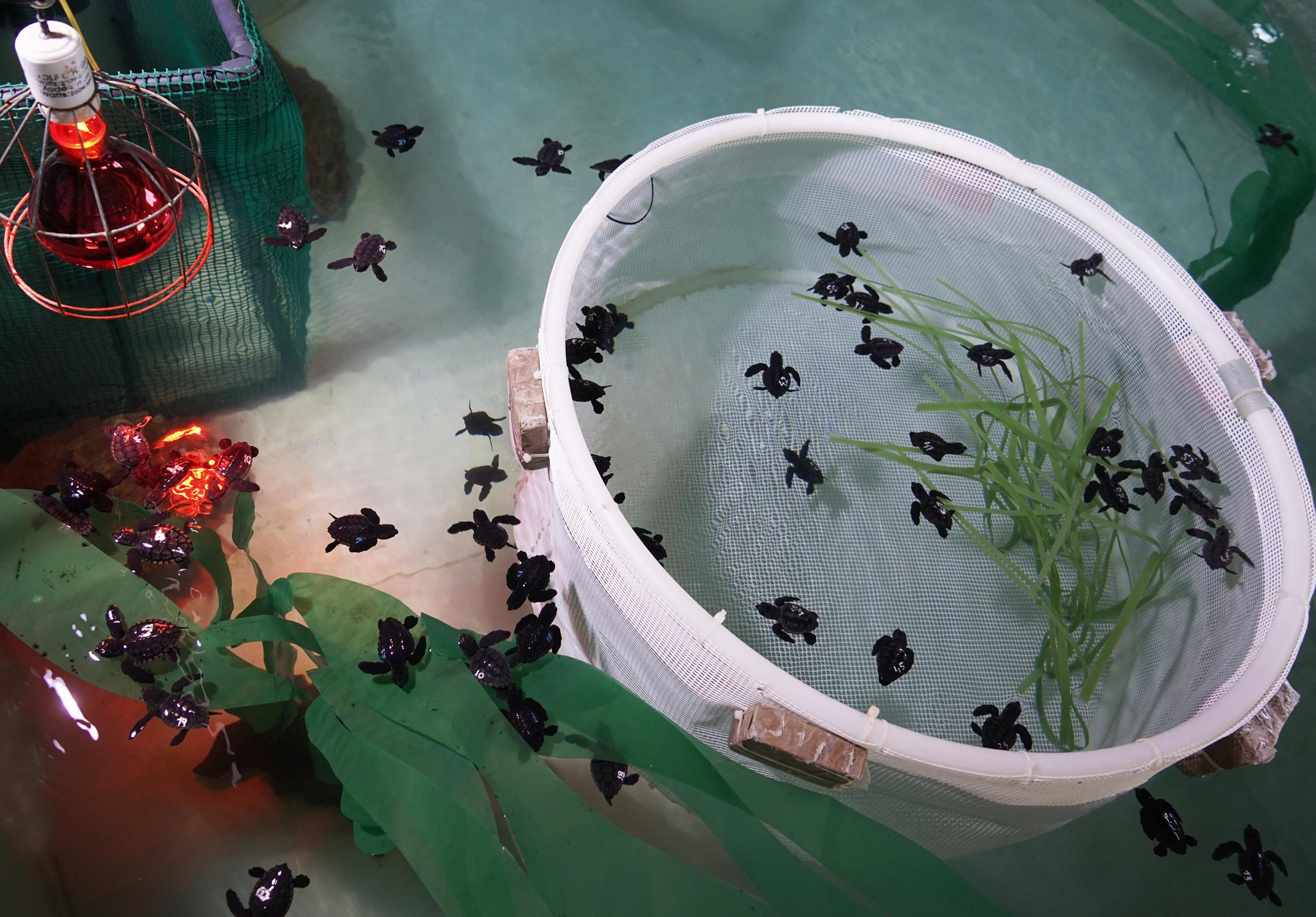 Ejemplares de tortuga boba durante su etapa de recuperación y crecimiento. Imagen: CARM