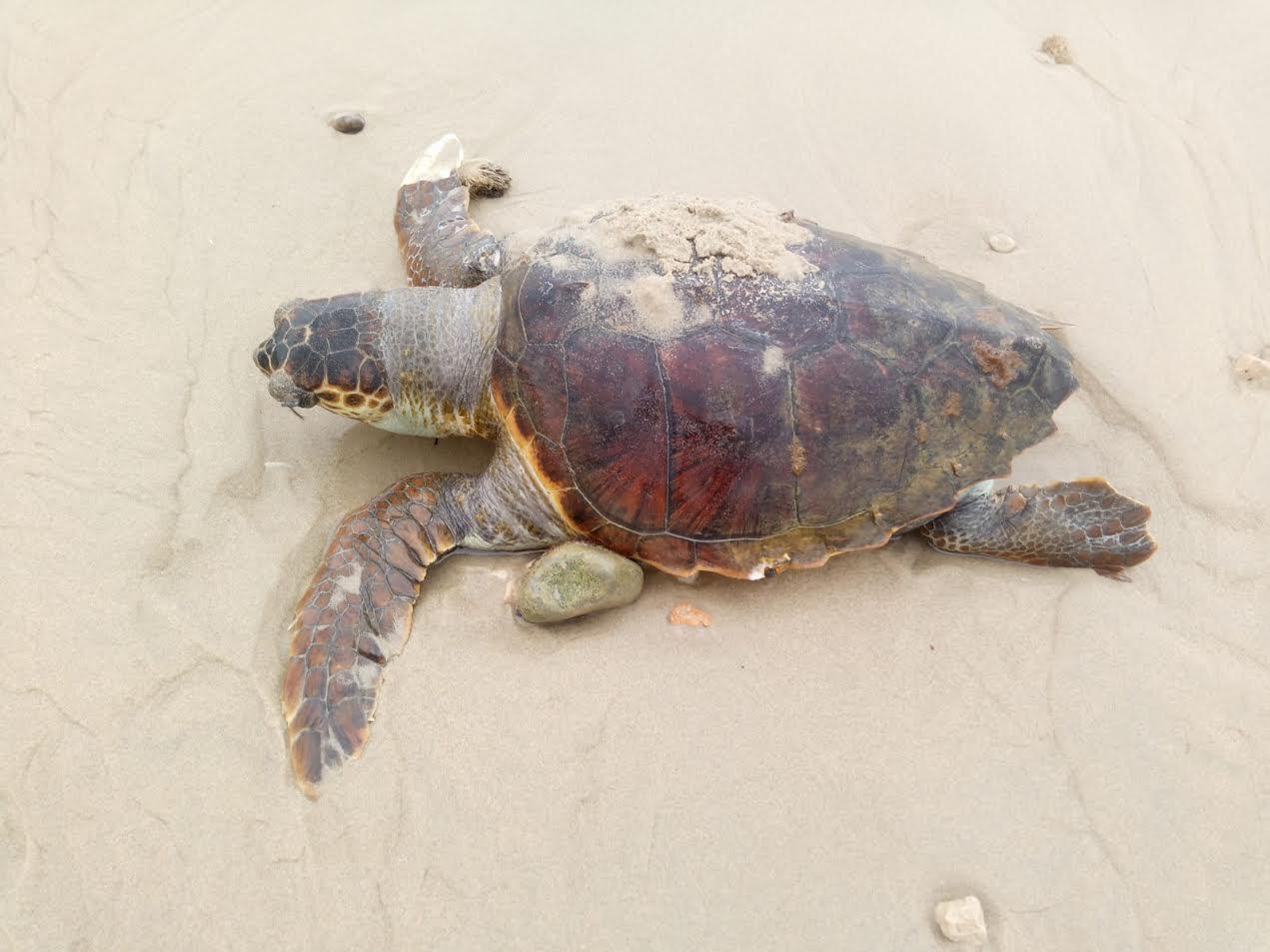 La tortuga boba es un quelonio presente en el Mediterráneo, catalogada como amenazada. Imagen: Ecologistas en Acción