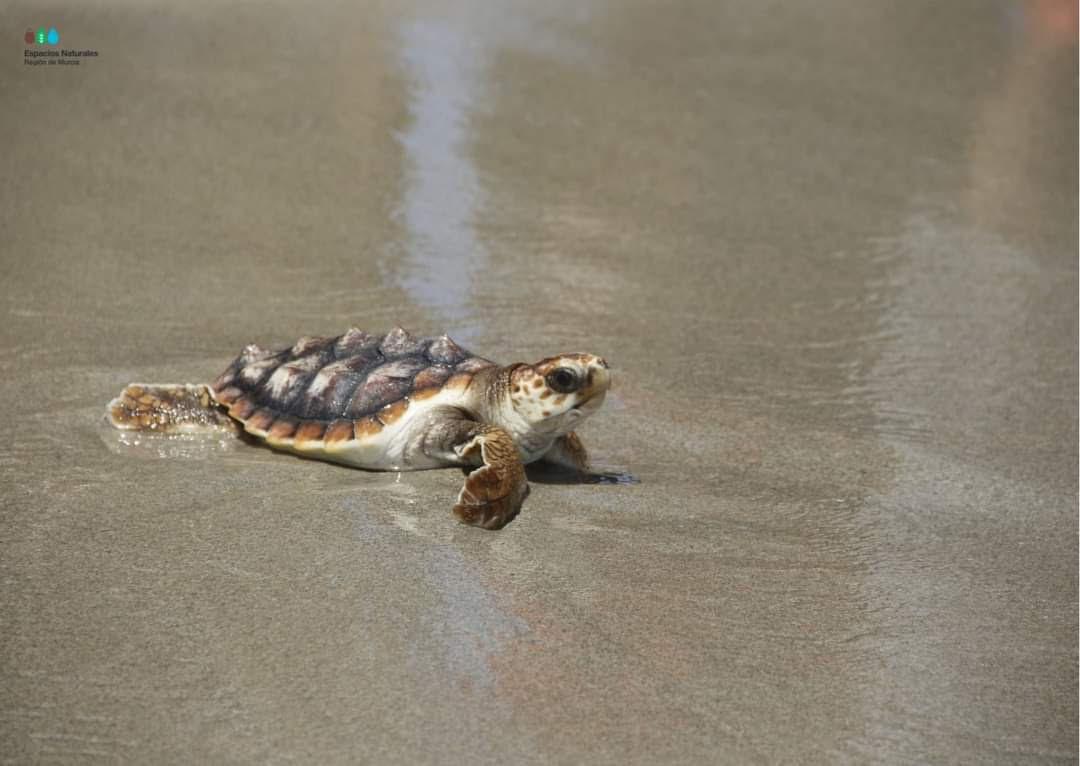 Una de las pequeñas tortugas que ha sido devueltas al mar. Imagen: Espacios Naturales Protegidos de la Región de Murcia