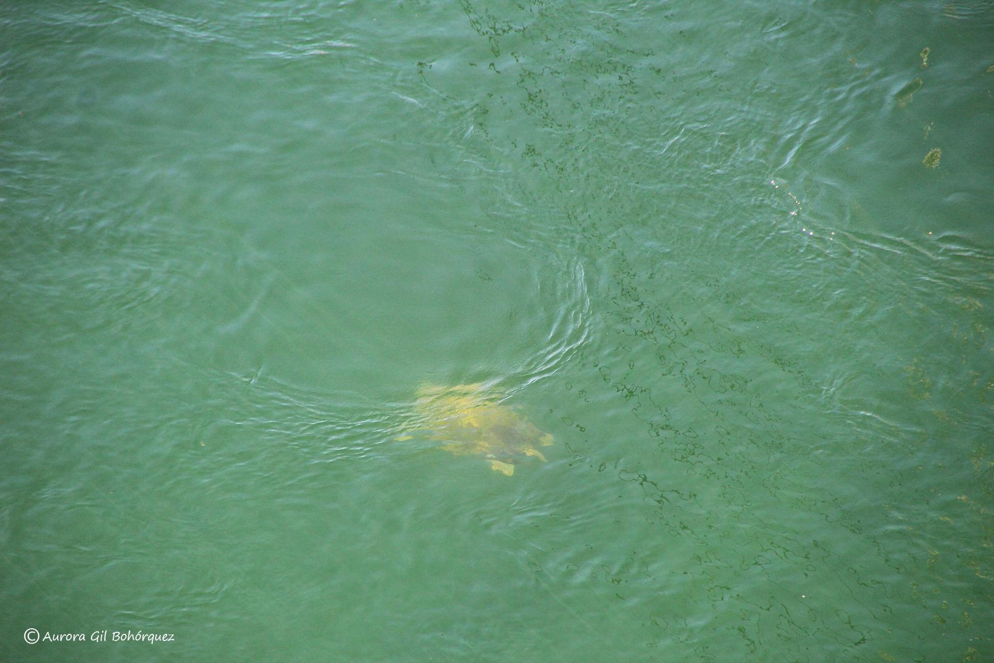 Ejemplar de tortuga marina vista cuando salía hoy por el puente del Estacio. Imagen: Aurora Gil Bohórquez