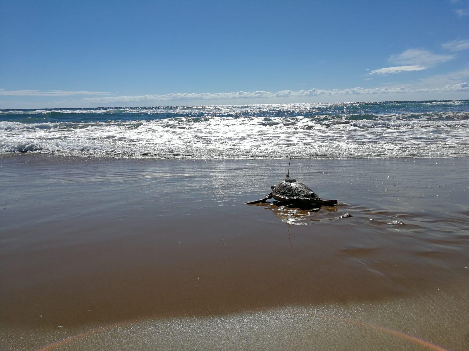 Tortuga marina marcada con dispositivo, en su camino de vuelta al mar. Imagen: Oceanogràfic