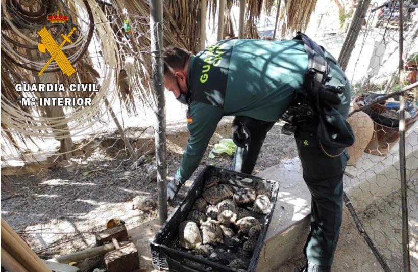 El detenido tenía 28 tortugas moras 'Testudo graeca' en su vivienda, sin licencia. Imagen: Guardia Civil