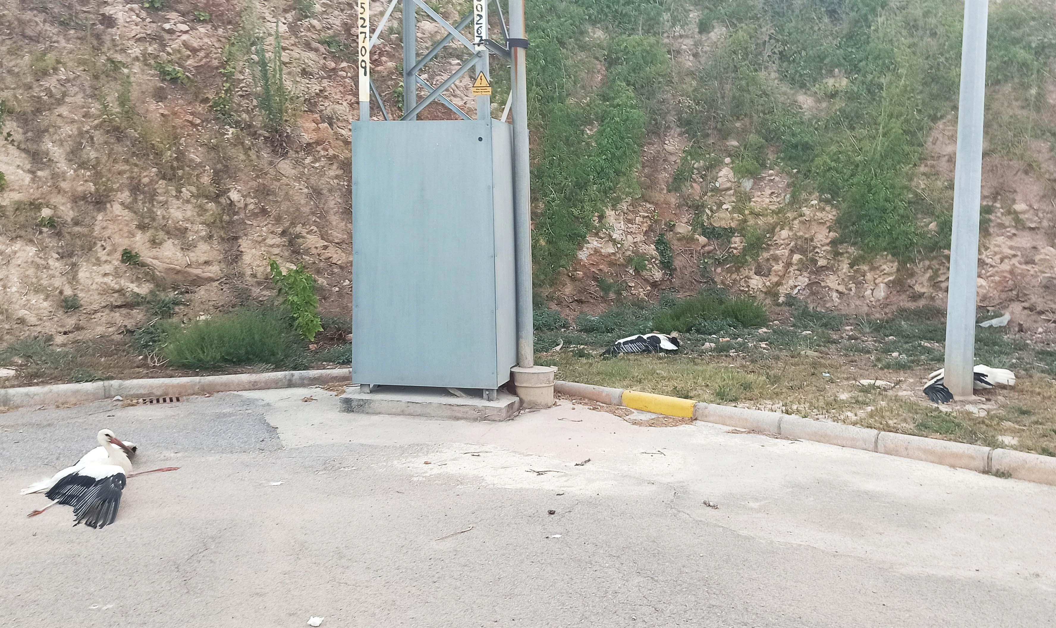 Tres cigüeñas halladas en agosto de 2020 junto a un poste de un tendido eléctrico valenciano sin elementos de protección, con síntomas de haber sufrido una electrocución. Imagen: SOV