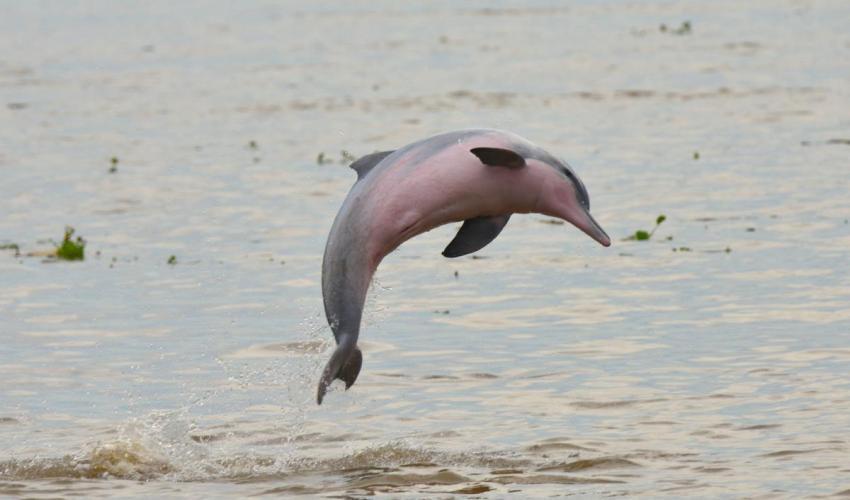 Del delfín gris del Amazonas. Imagen: UICN