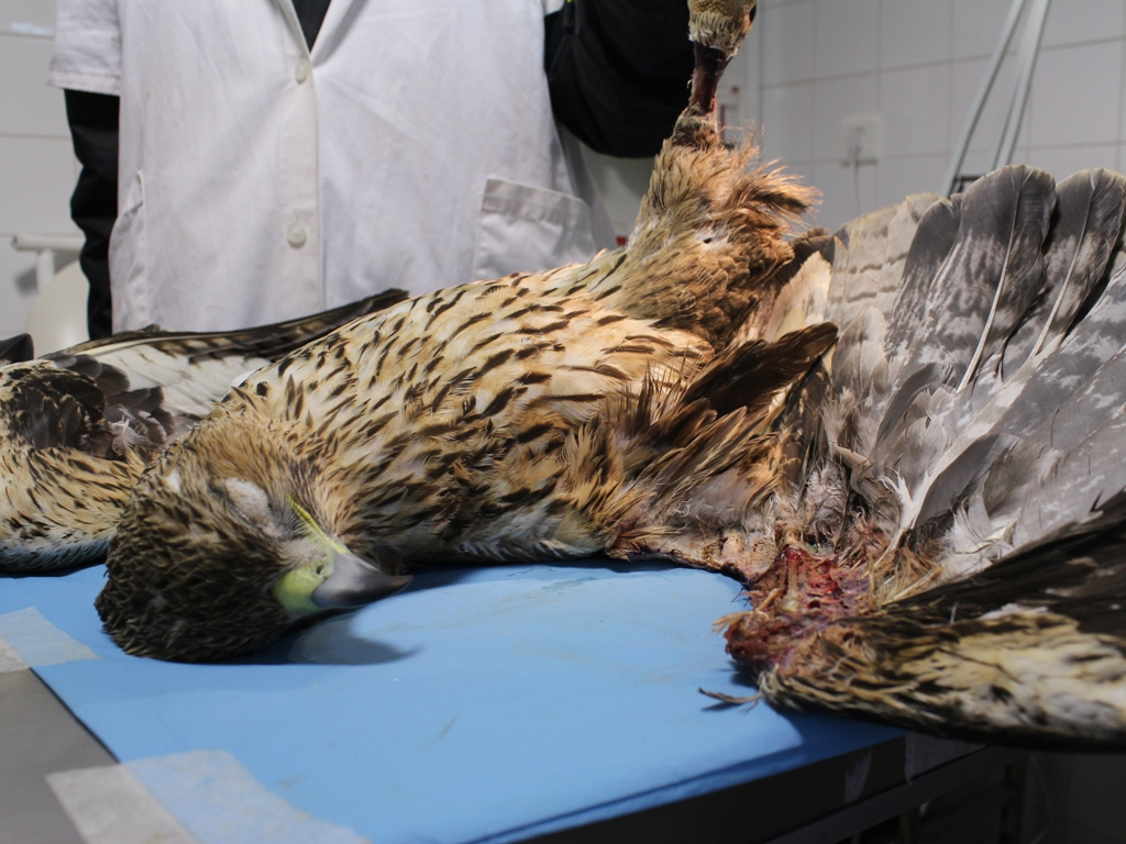 Juvenil de águila perdicera fallecida en el hospital de AMUS. Nótese la necrosis en la pata y en ala debido a la descarga eléctrica. Imagen: Amus