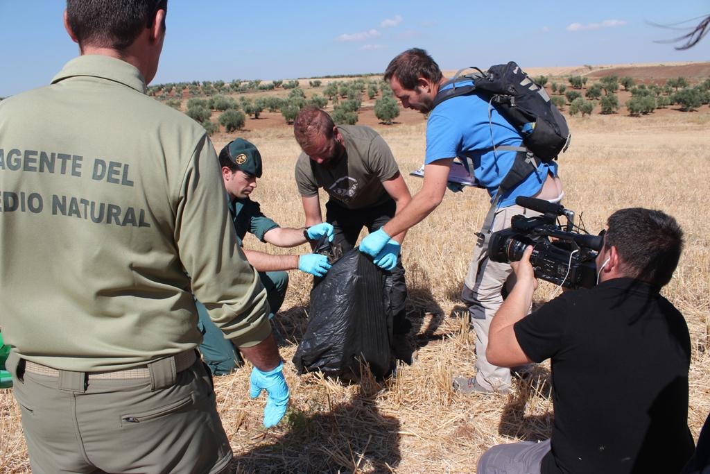 Efectivos del Seprona de la Guardia Civil y de los gentes del Medio Natural de la Junta de Extremadura efectuando el protocolo para el levantamiento del cadáver de un águila real electrocutada. Imagen: Amus