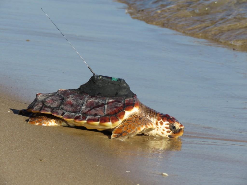 Una de las tortugas entra en el mar con el emisor de señal. Imagen: Oceanogràfic