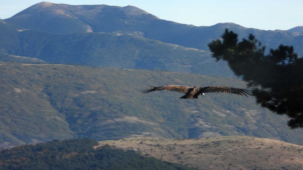 Uno de los veinte buitres negros liberados en la Sierra de la Demanda levanta el vuelo. Imagen: Grefa