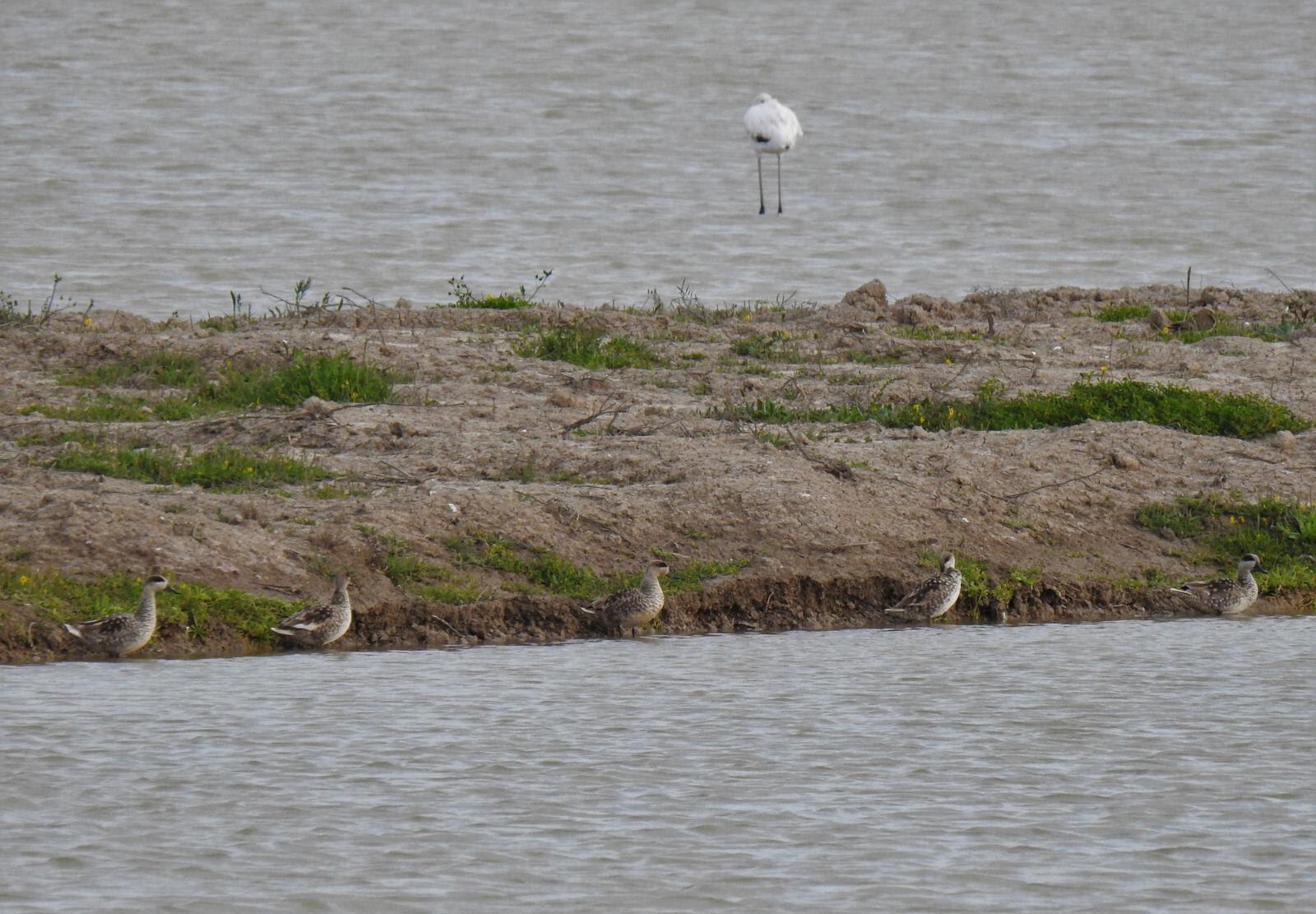 Varias cercetas pardillas en el agua. Imagen: Beltrán Ceballos / WWF