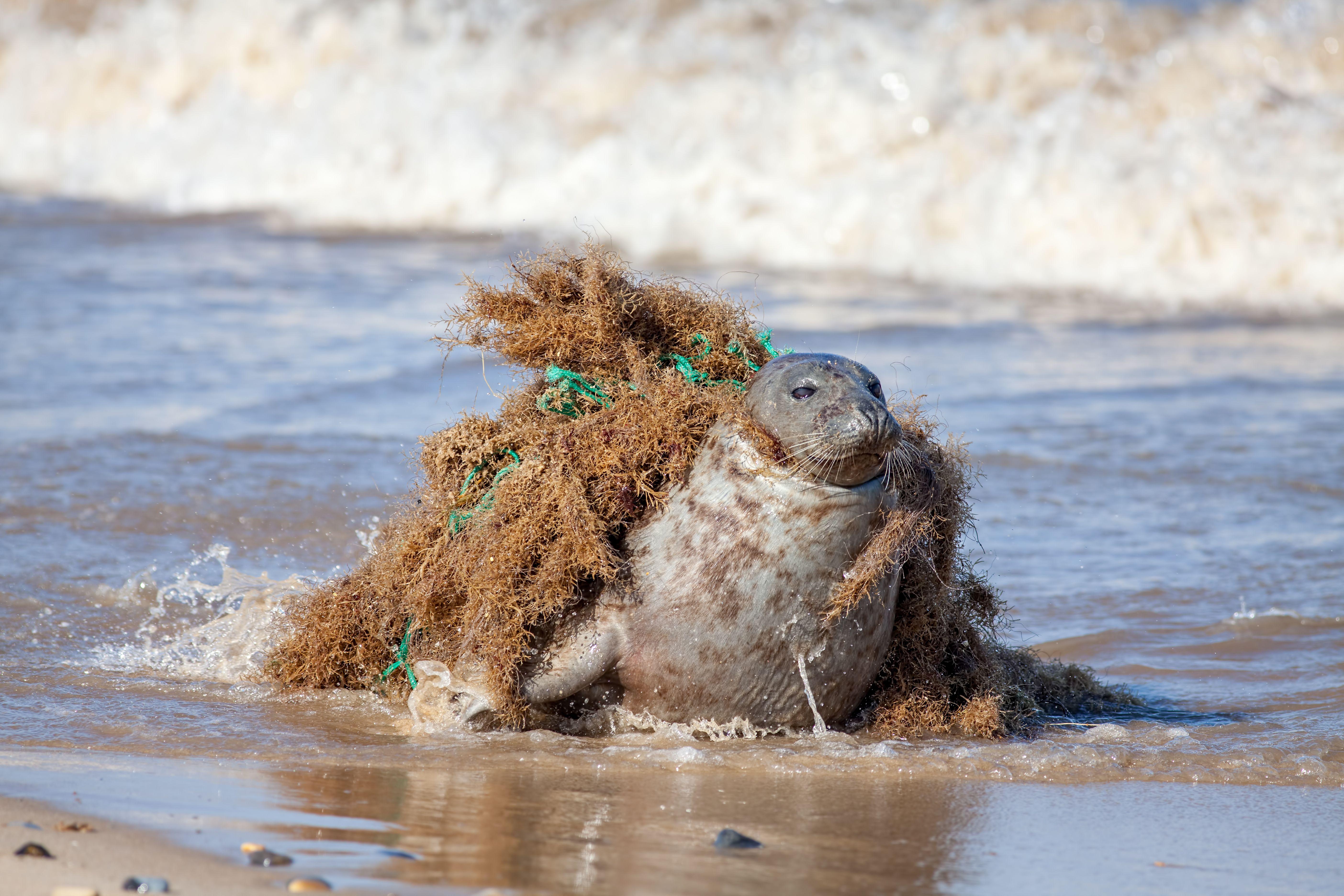 Una foca enredada en una red fantasma. Imagen: Ian Dyball / WWF