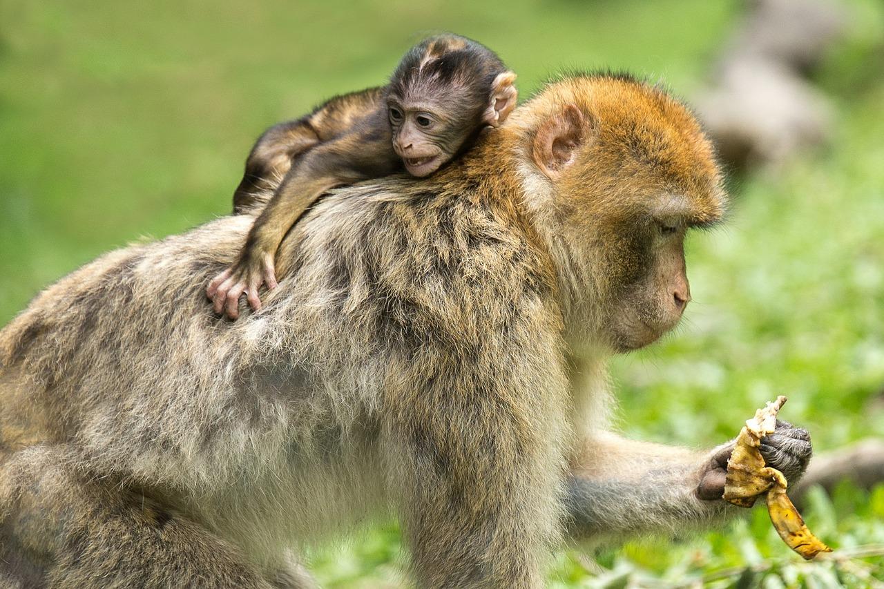 Los macacos y otros primates tienen penes con espinas. Imagen: Pixabay