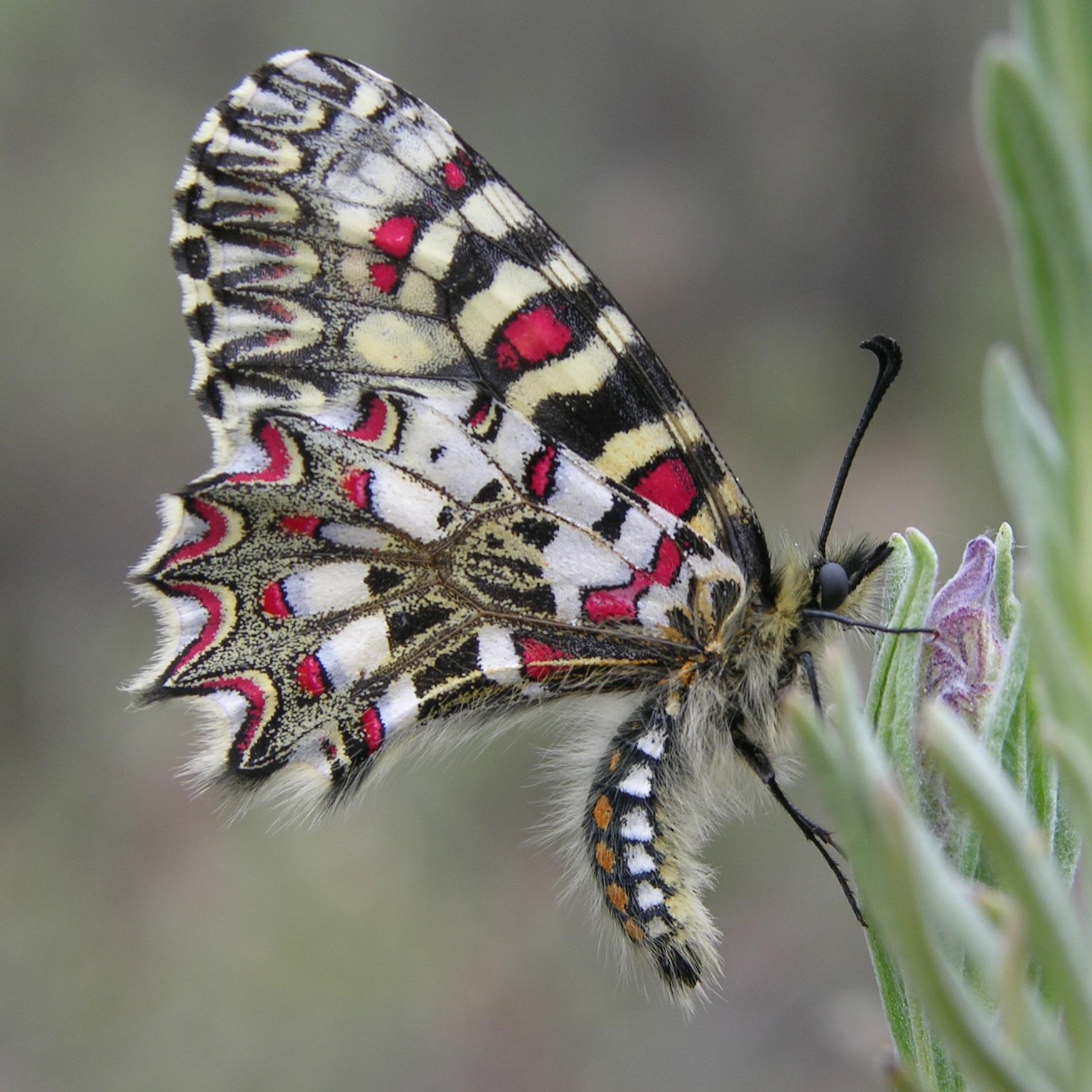 Ejemplar de 'Zerynthia rumina'. Imagen: David Gutiérrez / IEO