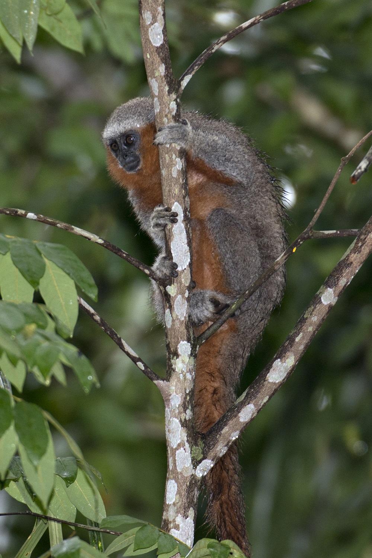Titi cola de fuego (Plecturocebus miltoni), una de las nuevas especies descritas en la Amazonía  © ADRIANO GAMBARINI